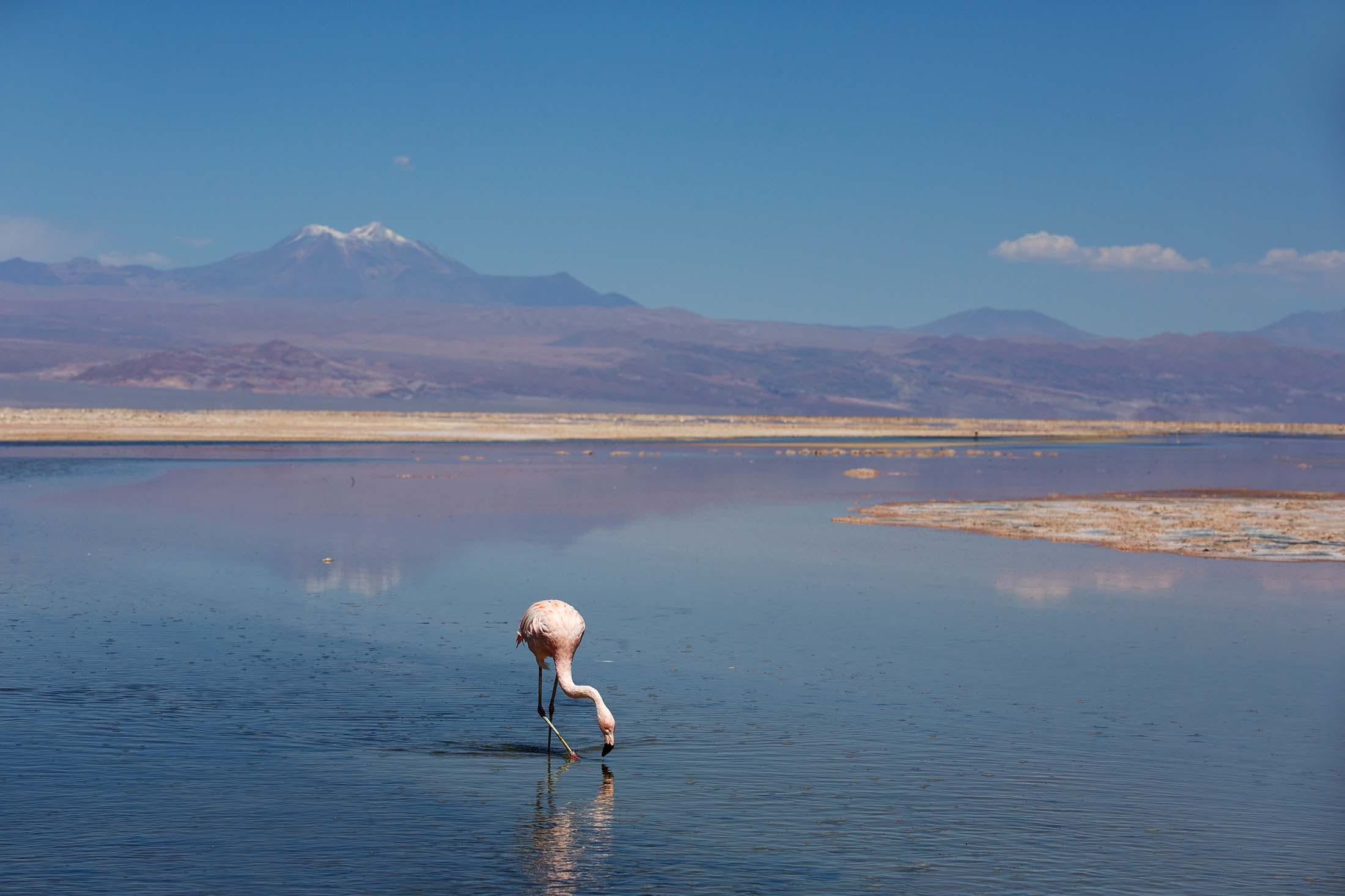 Pink flamingo in Chile