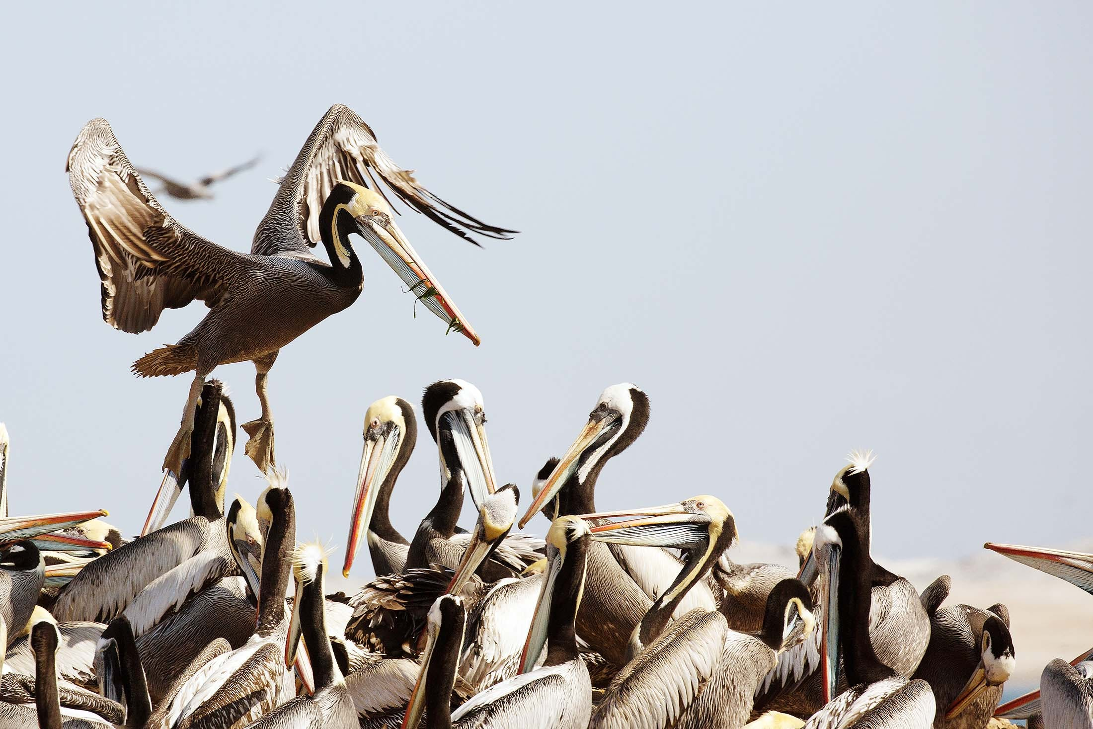 Peruvian pelicans in Peru