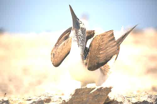 blue-footed boobies dance