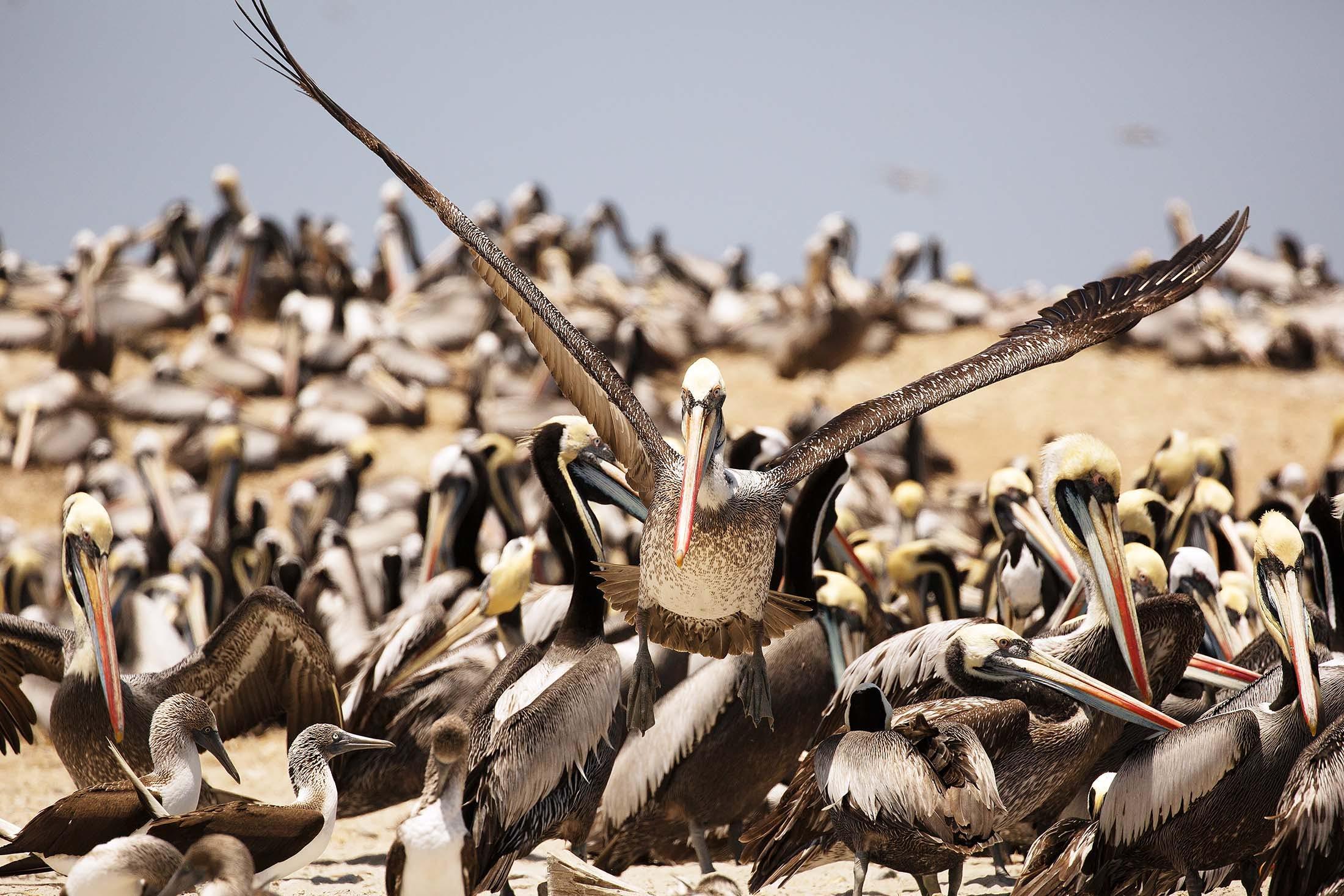 Peruvian pelicans on Isla Lobos de Tierra, Peru