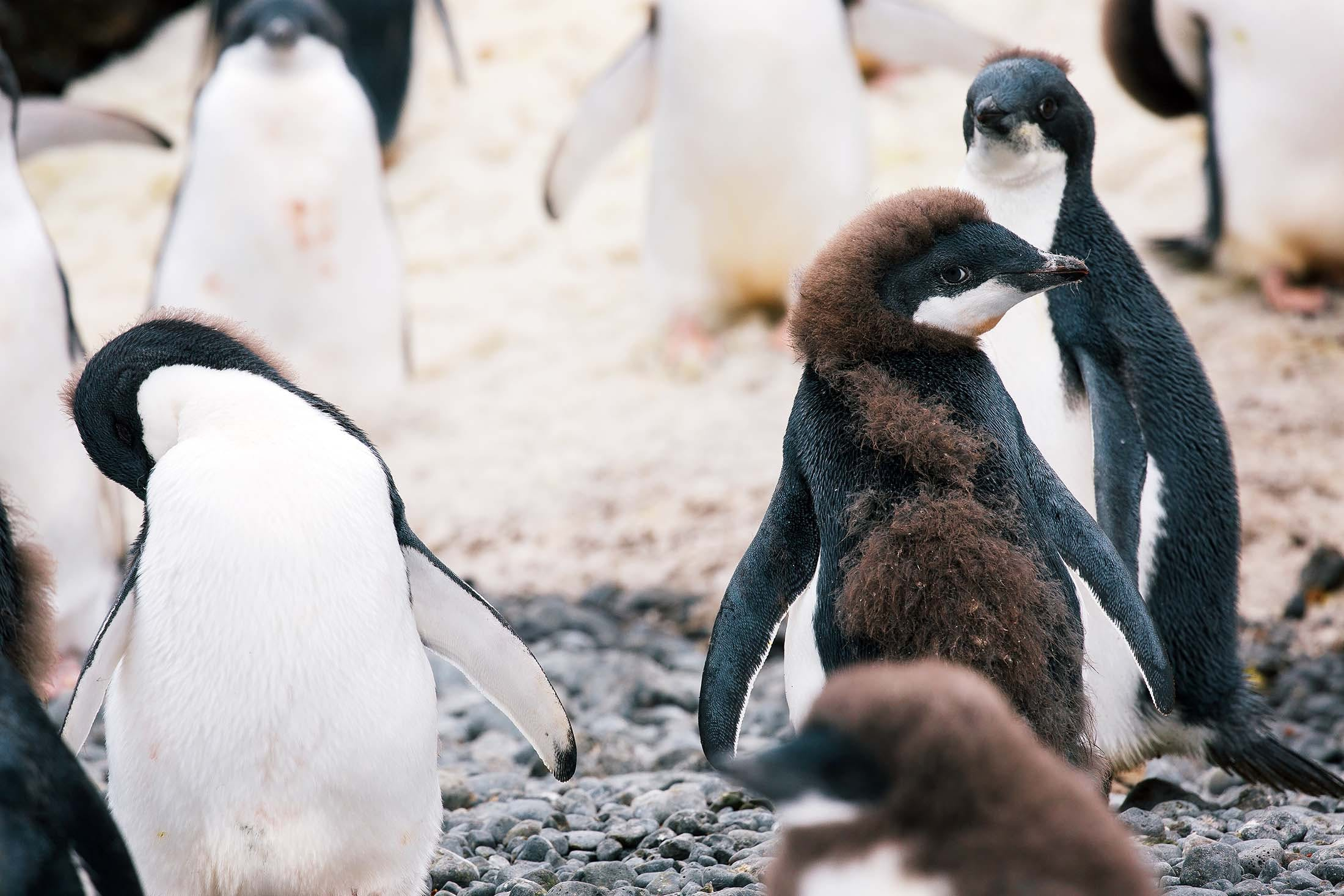 Young Adélie Penguin, Brown Bluff, Antarctica