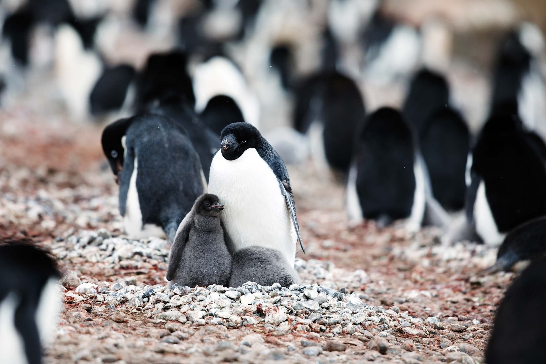 Adélie Penguins, Brown Bluff, Antarctica