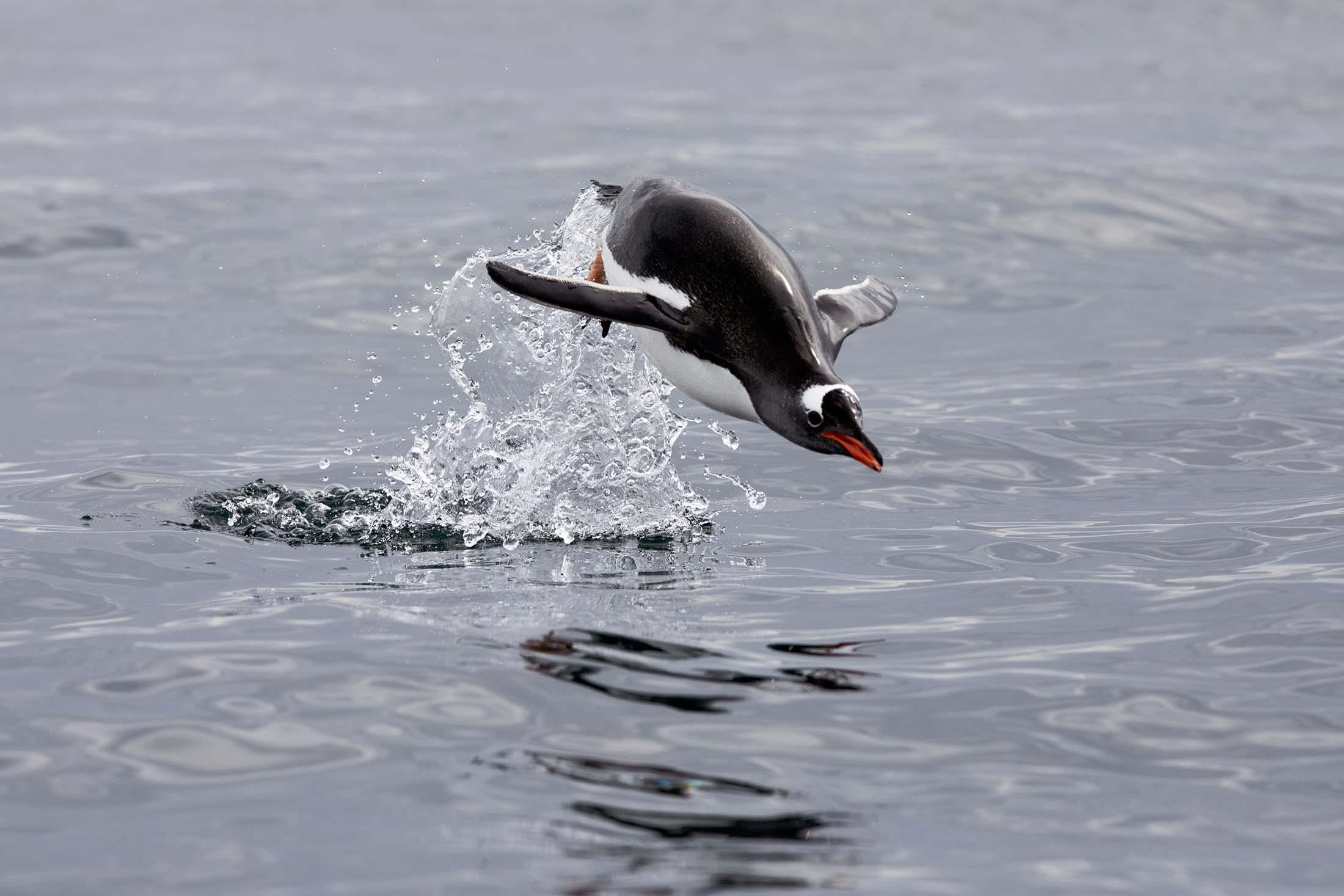 Porpoising Gentoo Penguin in Cierva Cove, Antarctica
