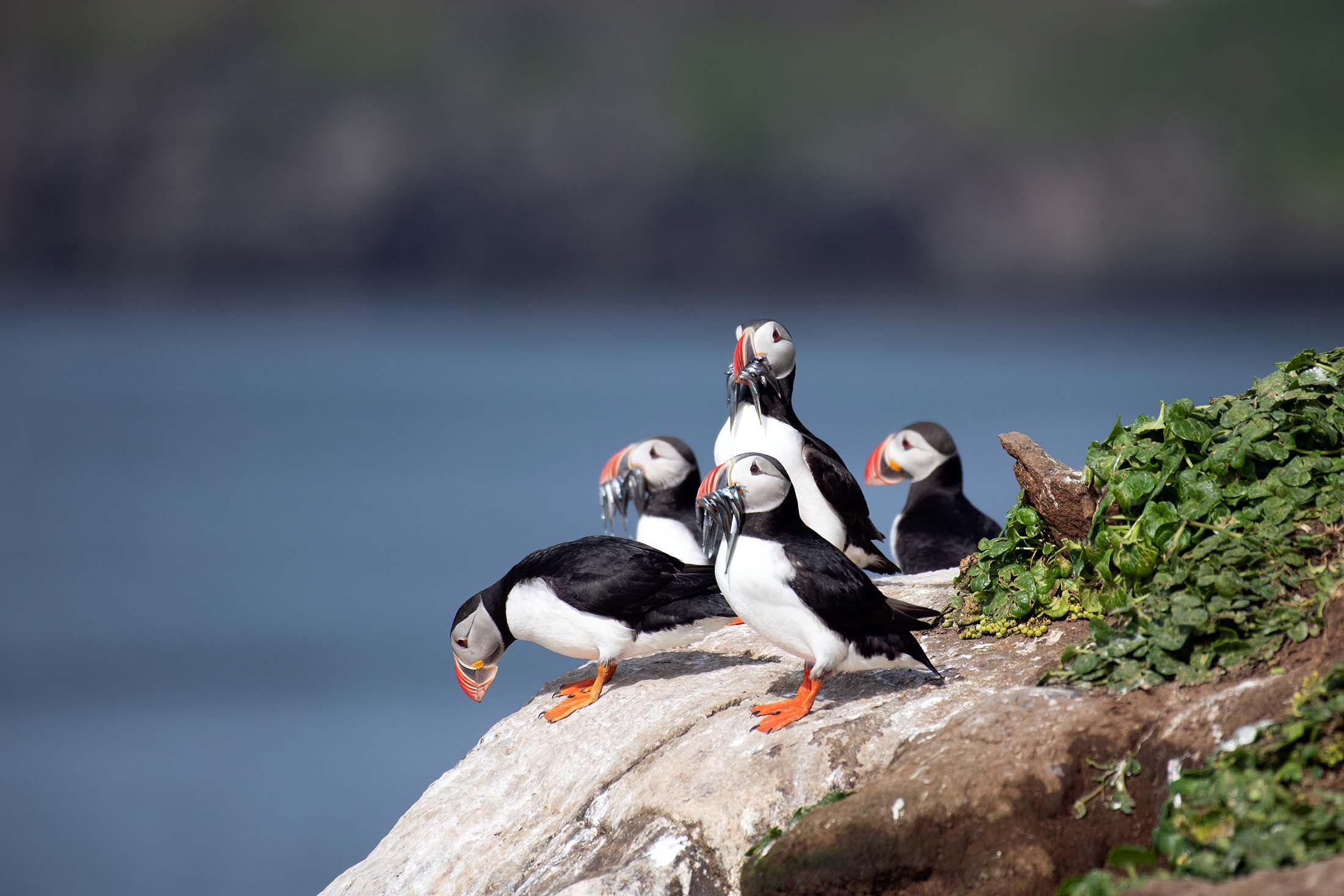 Atlantic Puffins on Grimsey Island, Iceland