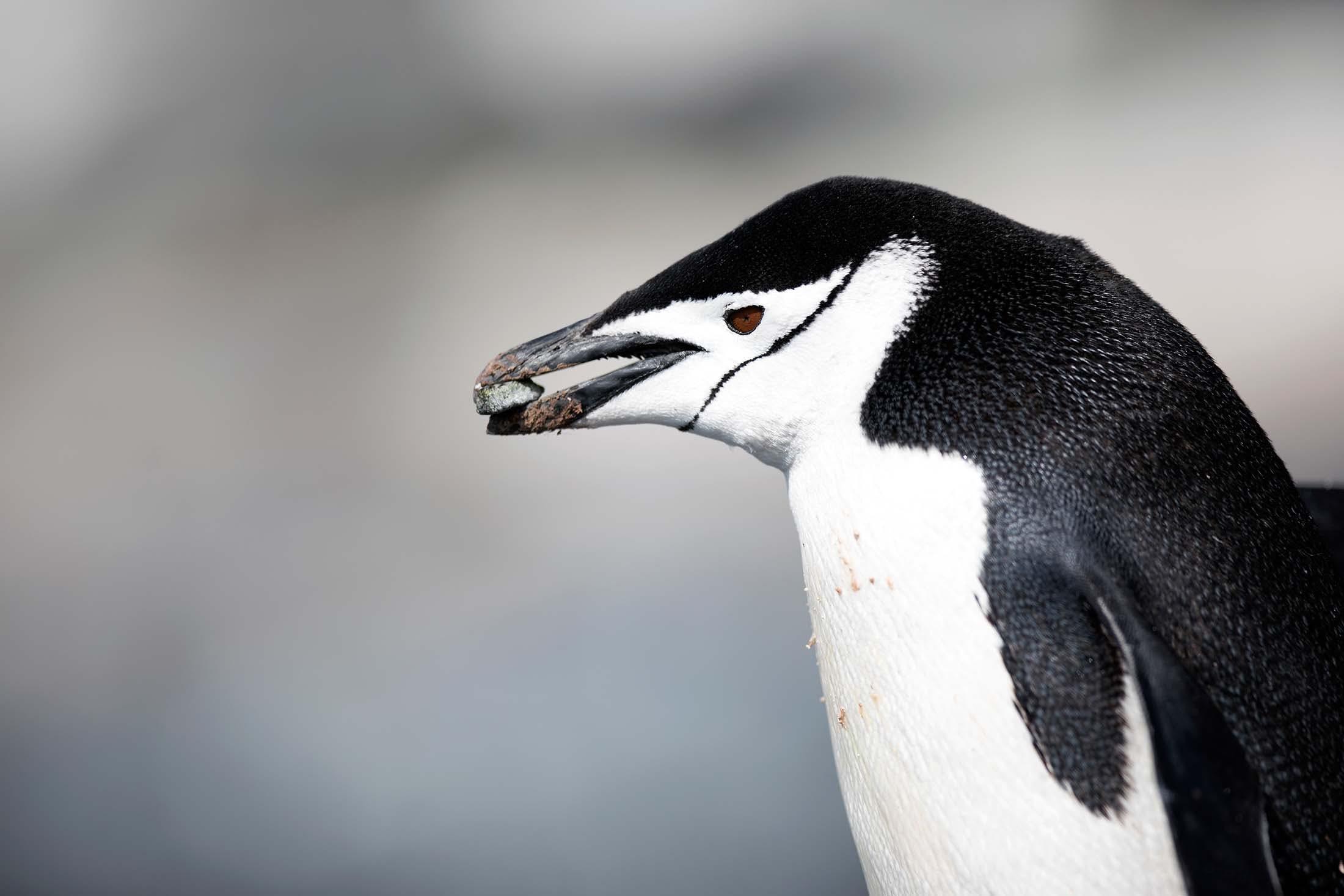 Chinstrap Penguin Half Moon Island, Antarctica