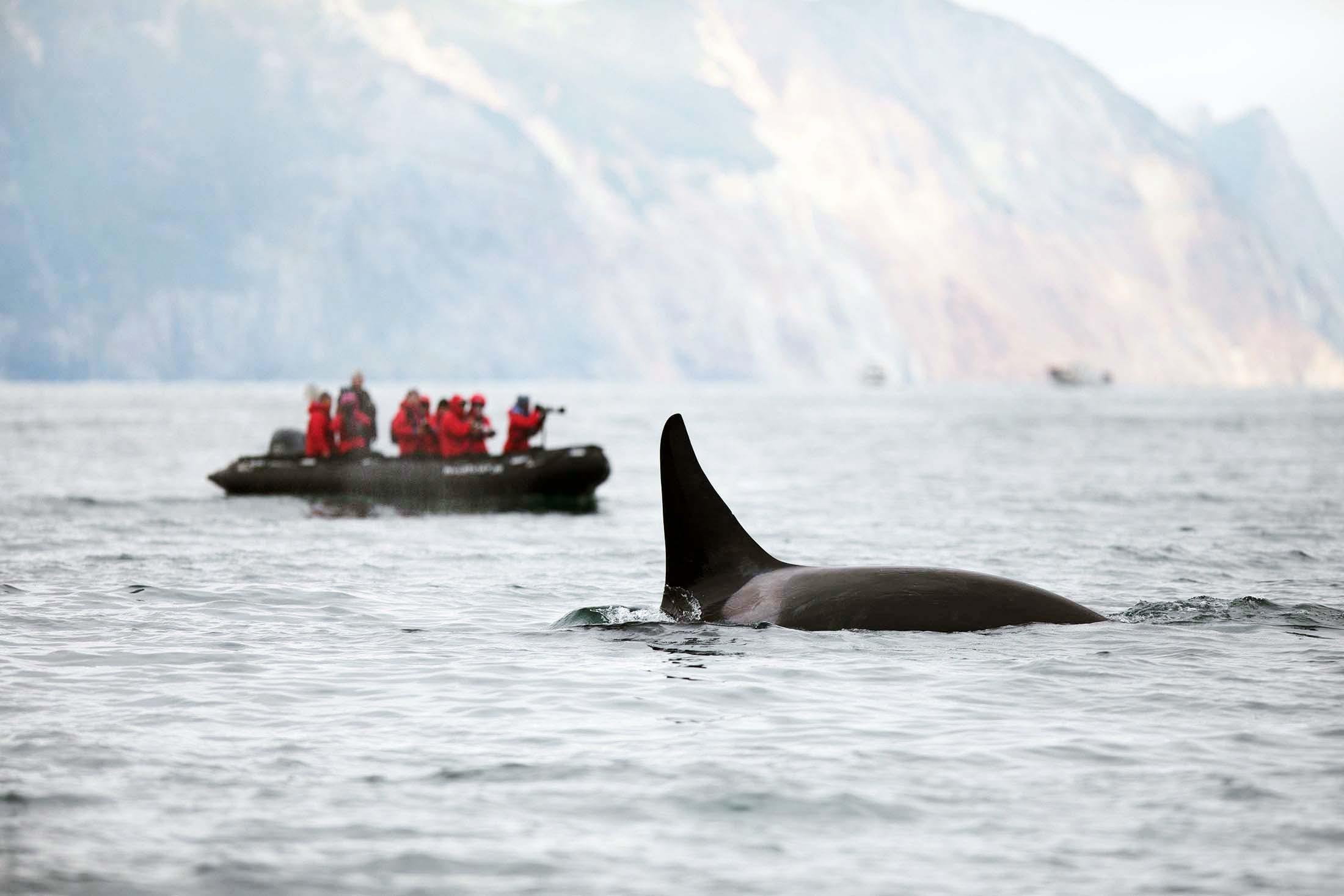 Killer whale, Kekurnyy Bay, Kamchatka, Russian Far East