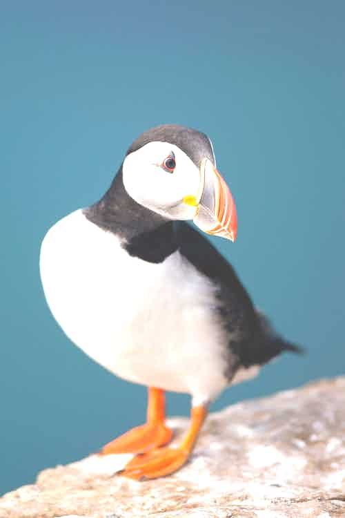 Atlantic Puffin, Grimsey Island, Iceland
