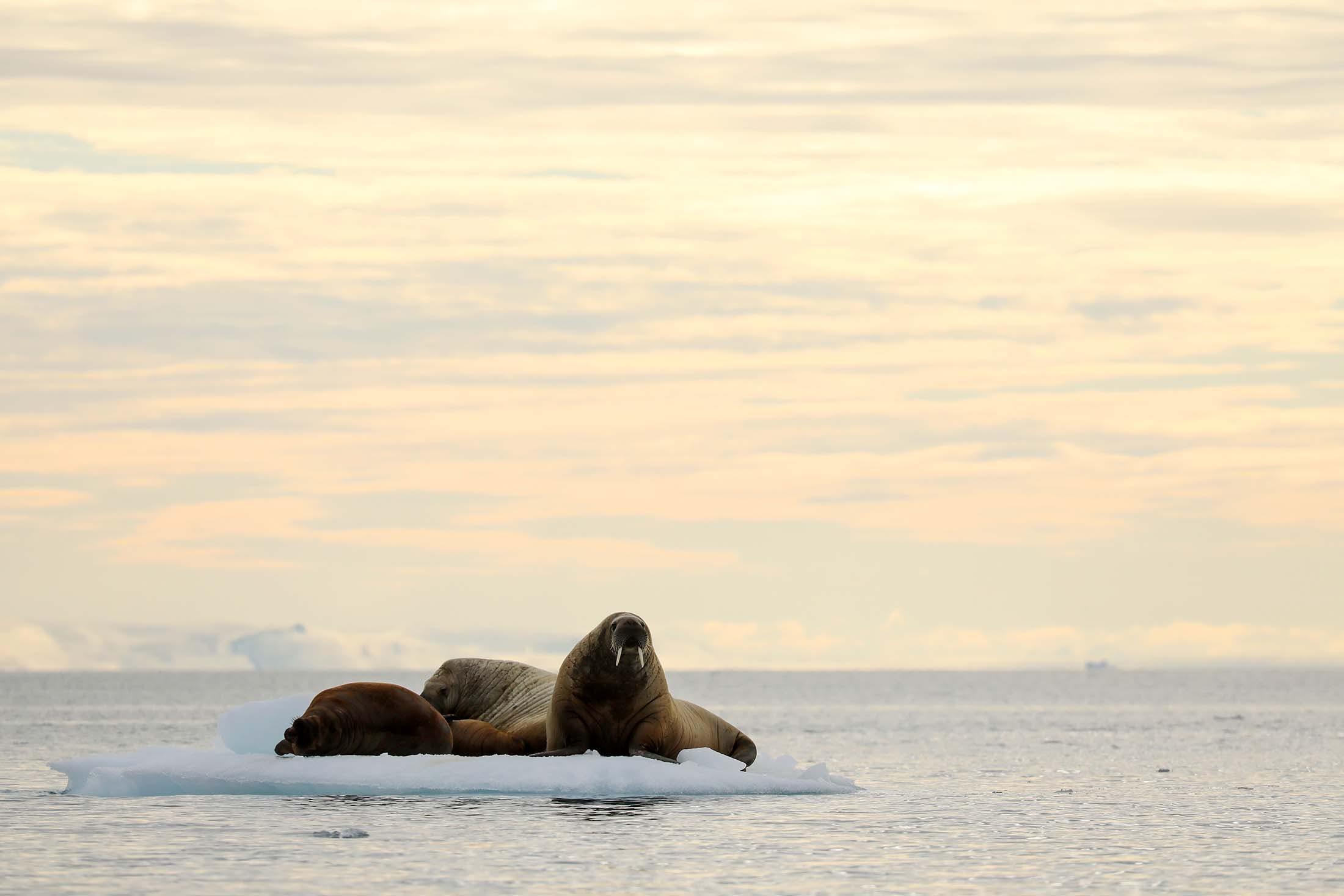 Walruses in Brasvelbreen, Svalbard
