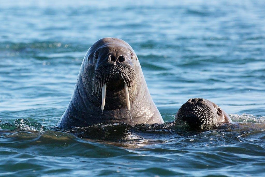 Walrus in Kvit, Spitsbergen, Svalbard