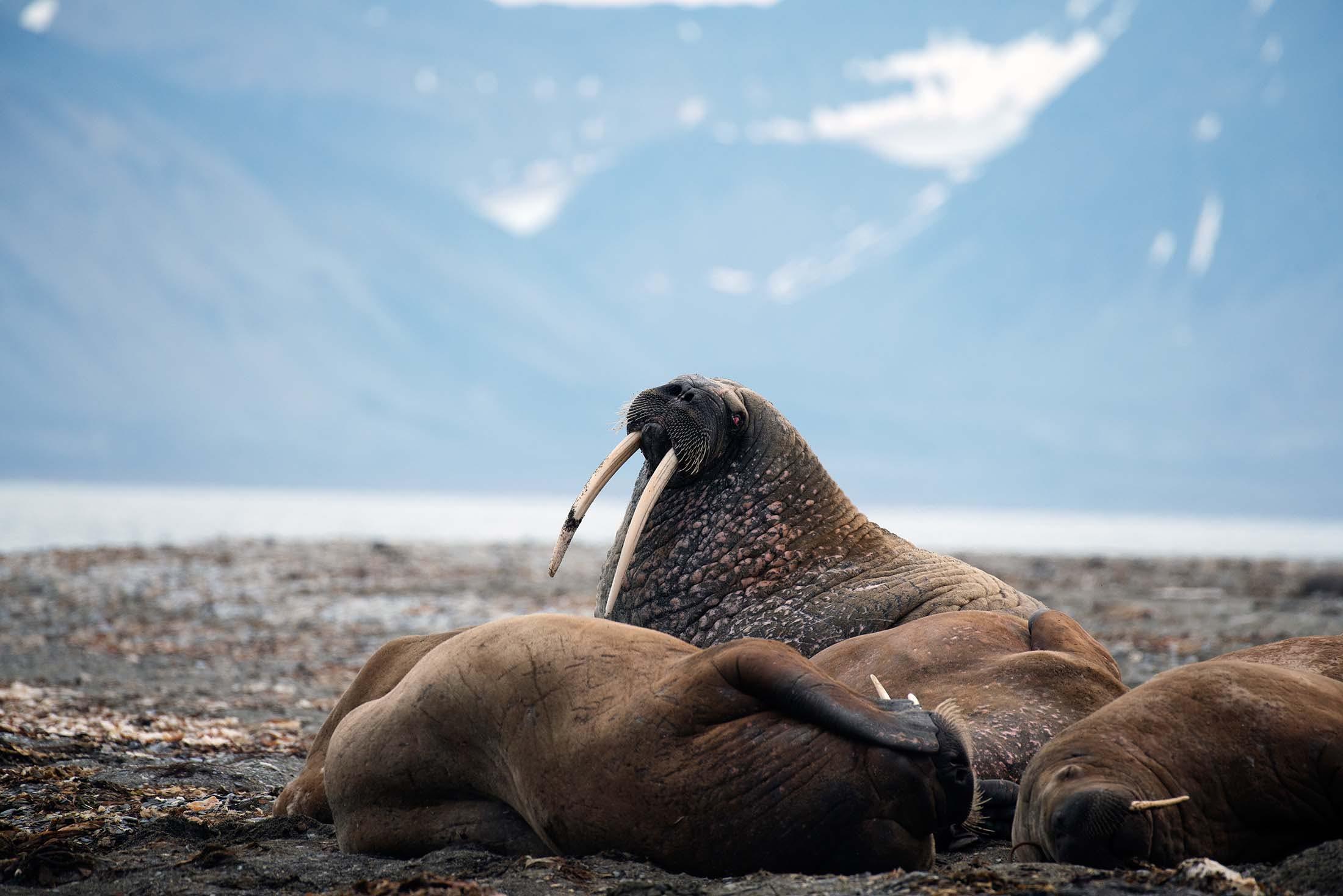 Walruses in Poolepynten, Svalbard