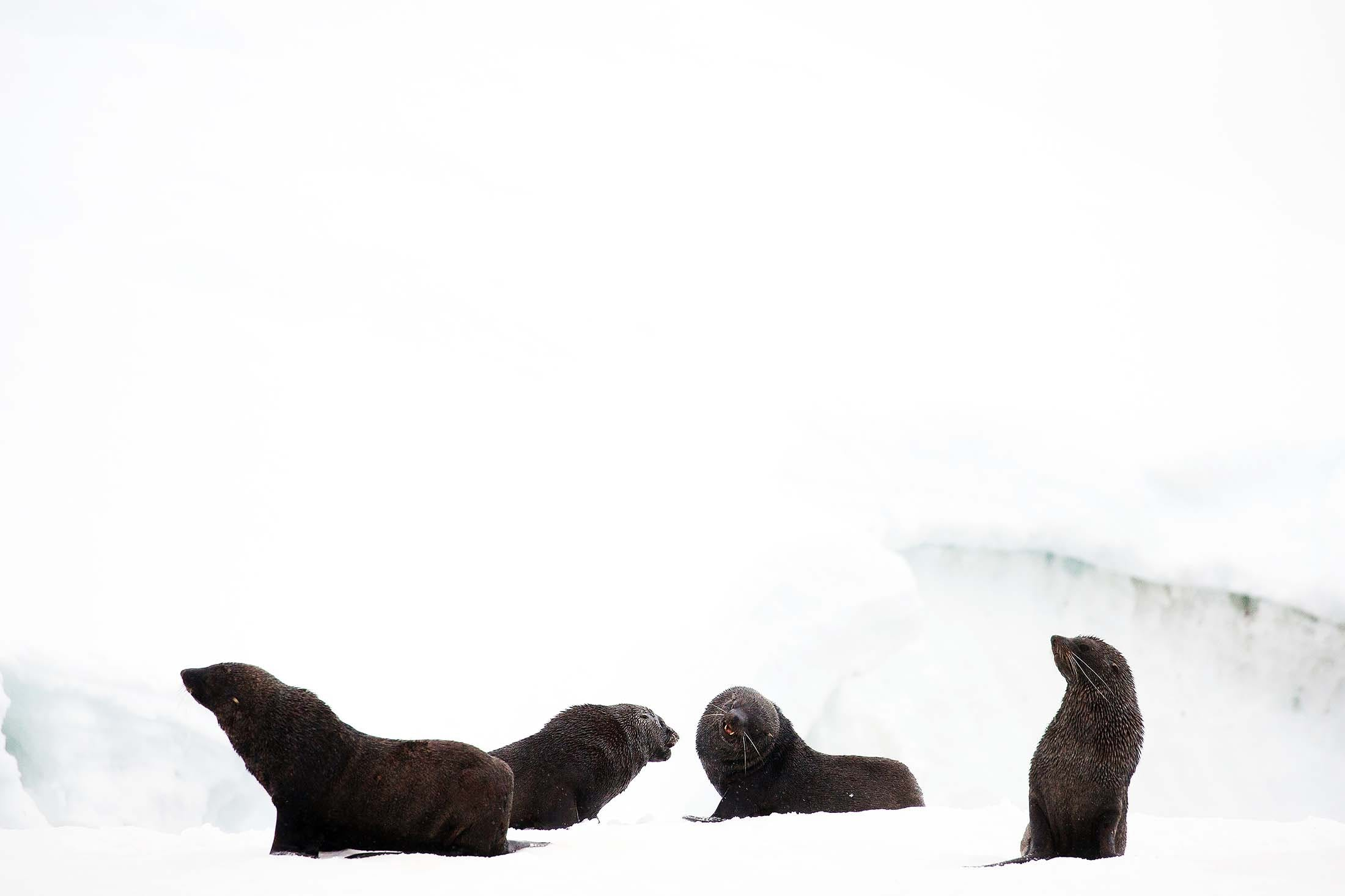 Fur seals, Portal Point, Antarctica
