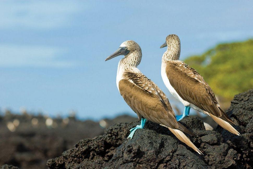 baltra-silversea-galapagos-cruise-blue-footed-booby2