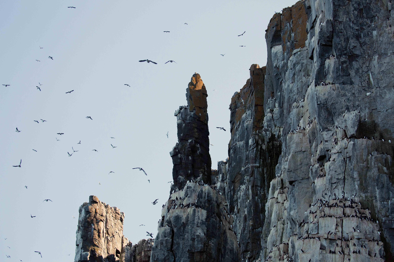 Brünnich's Guillemots, Alkefjellet Cliffs, Svalbard
