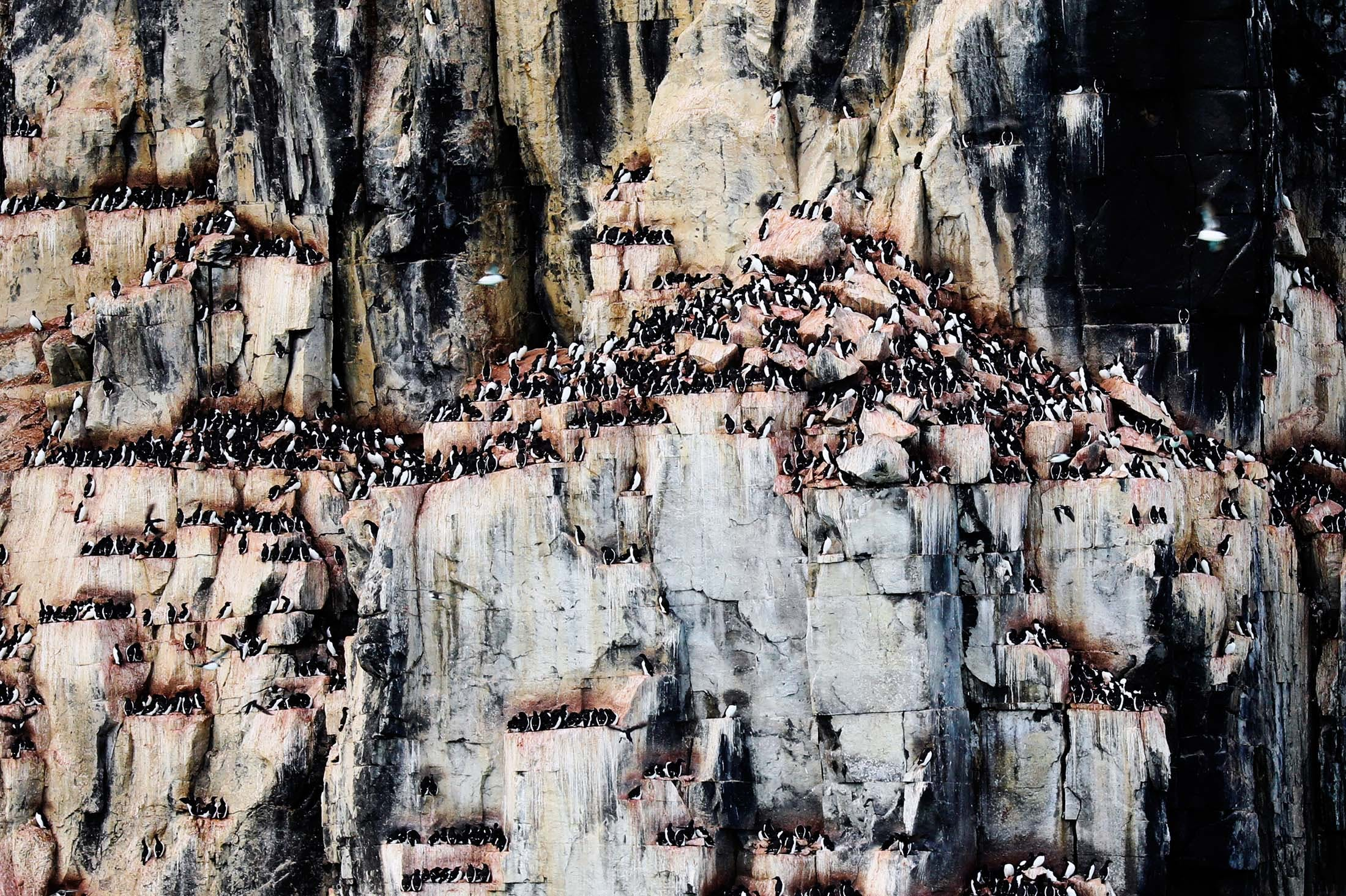 Brünnich's Guillemots, Alkefjellet, Spitsbergen, Svalbard 02