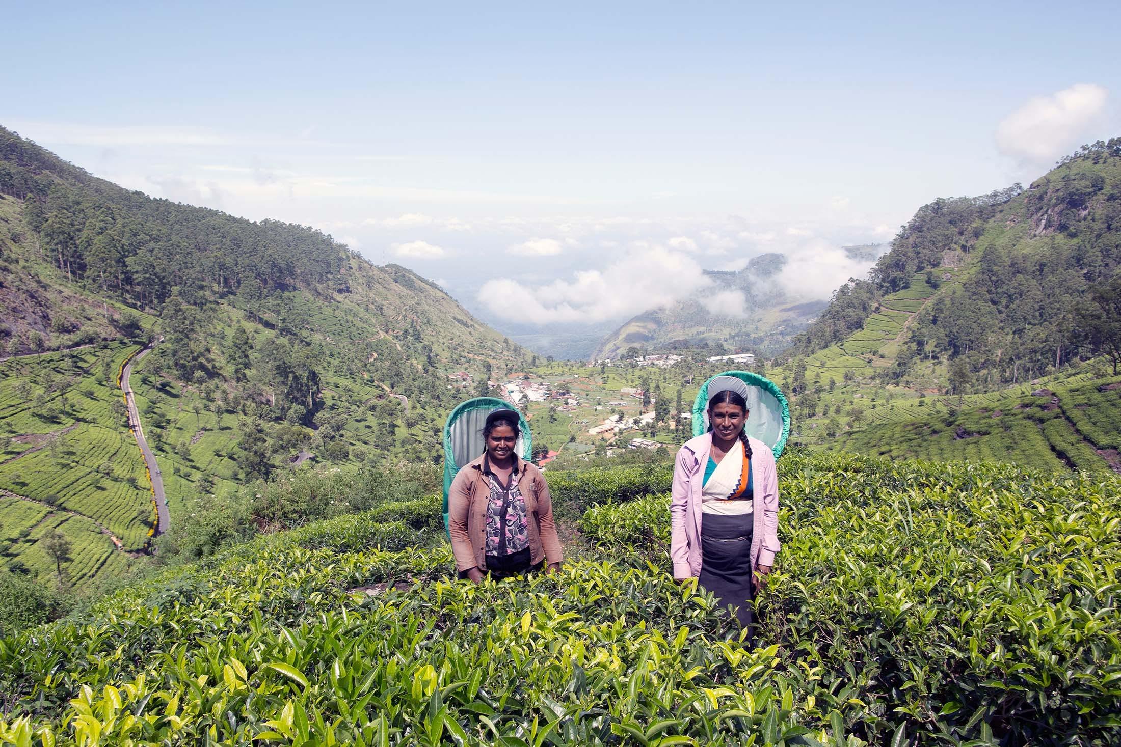 Tea Plantation, Lipton's Seat, Haputale, Sri Lanka