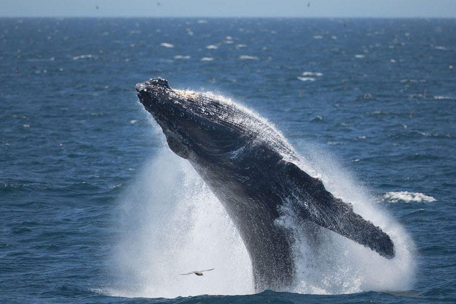 silversea-arctic-cruise-humpback-whale
