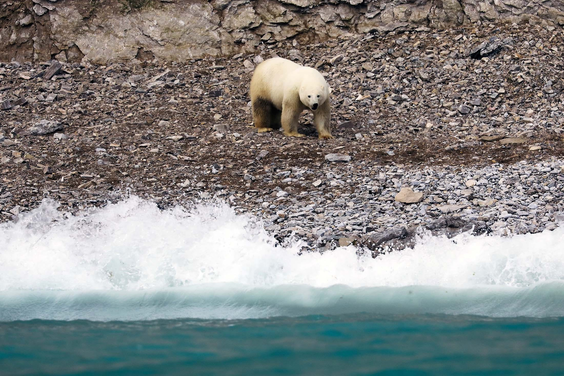 Polar bear in Akpatok Island, Greenland