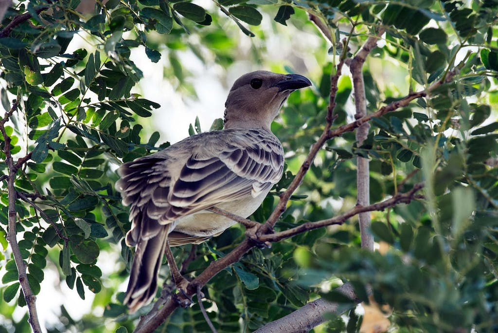 Great Bowerbirds can be spotted on an Ord River birdwatching tour.