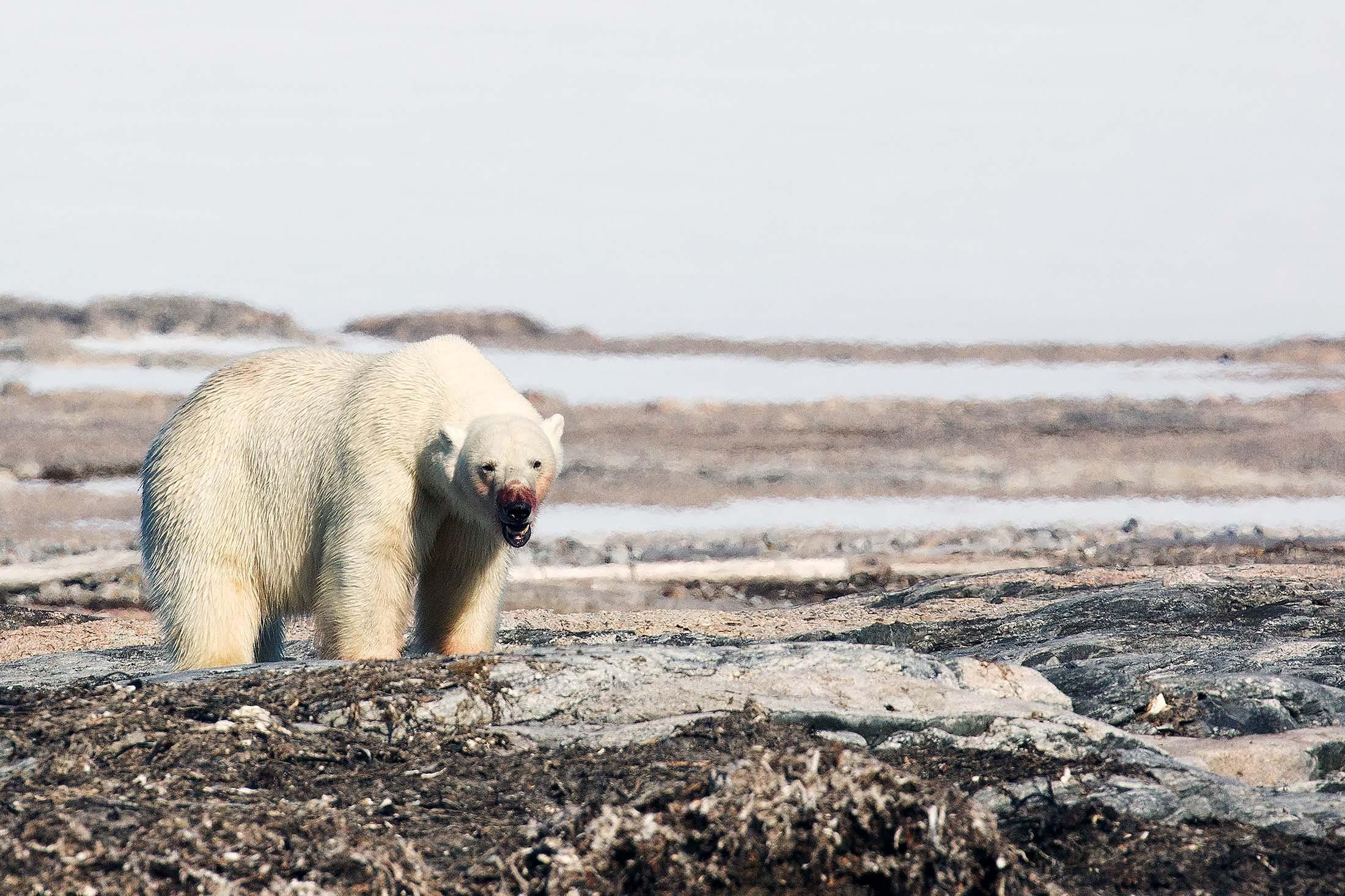Polar bears in Spitsbergen, Svalbard