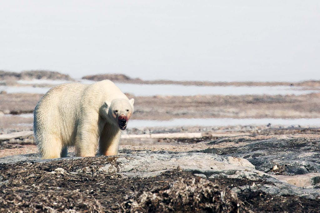 One or the polar bears' habitats lies in Spitsbergen, Svalbard