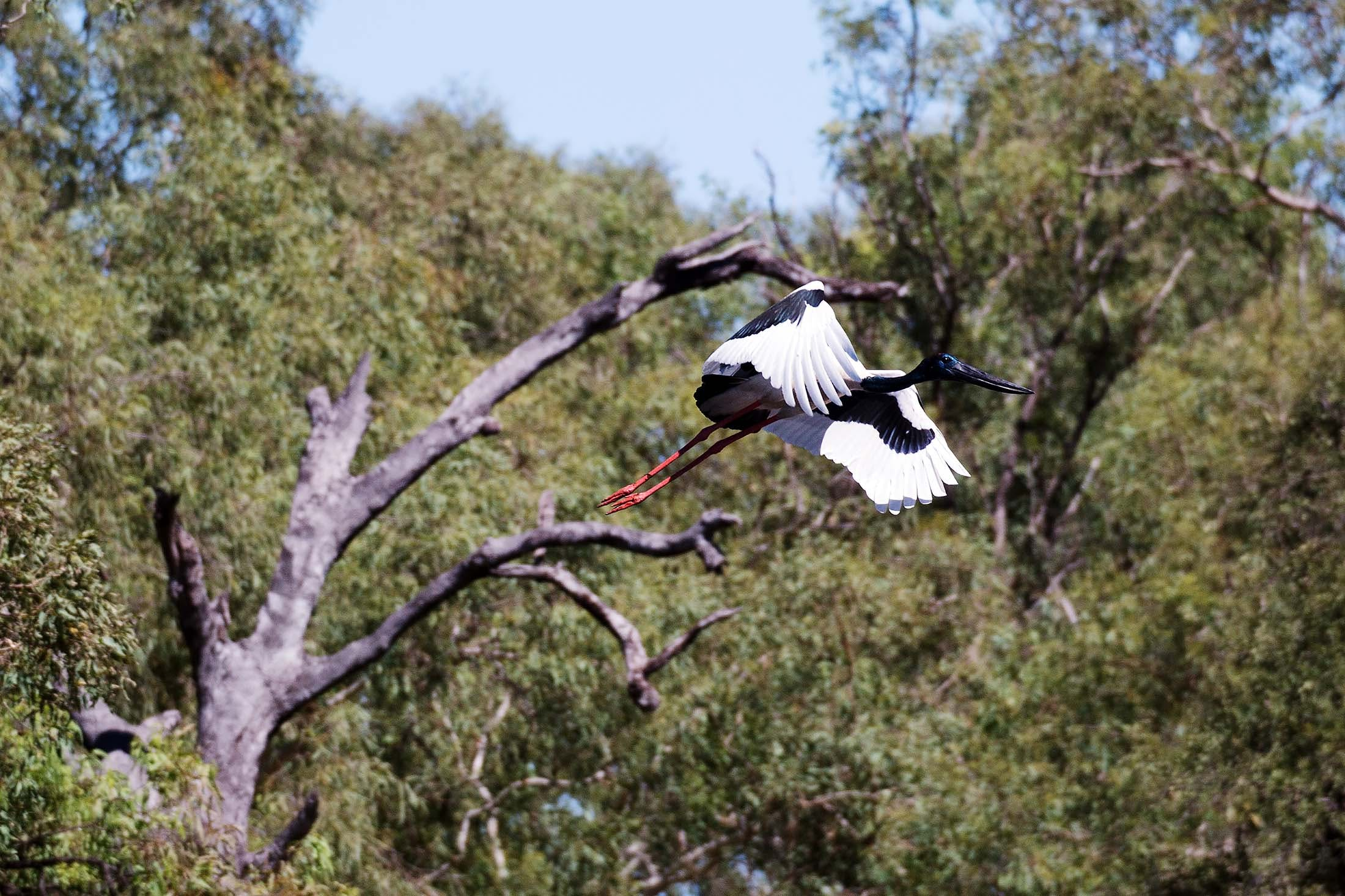 Jabiru bird by Ord River, Kimberley, Australia