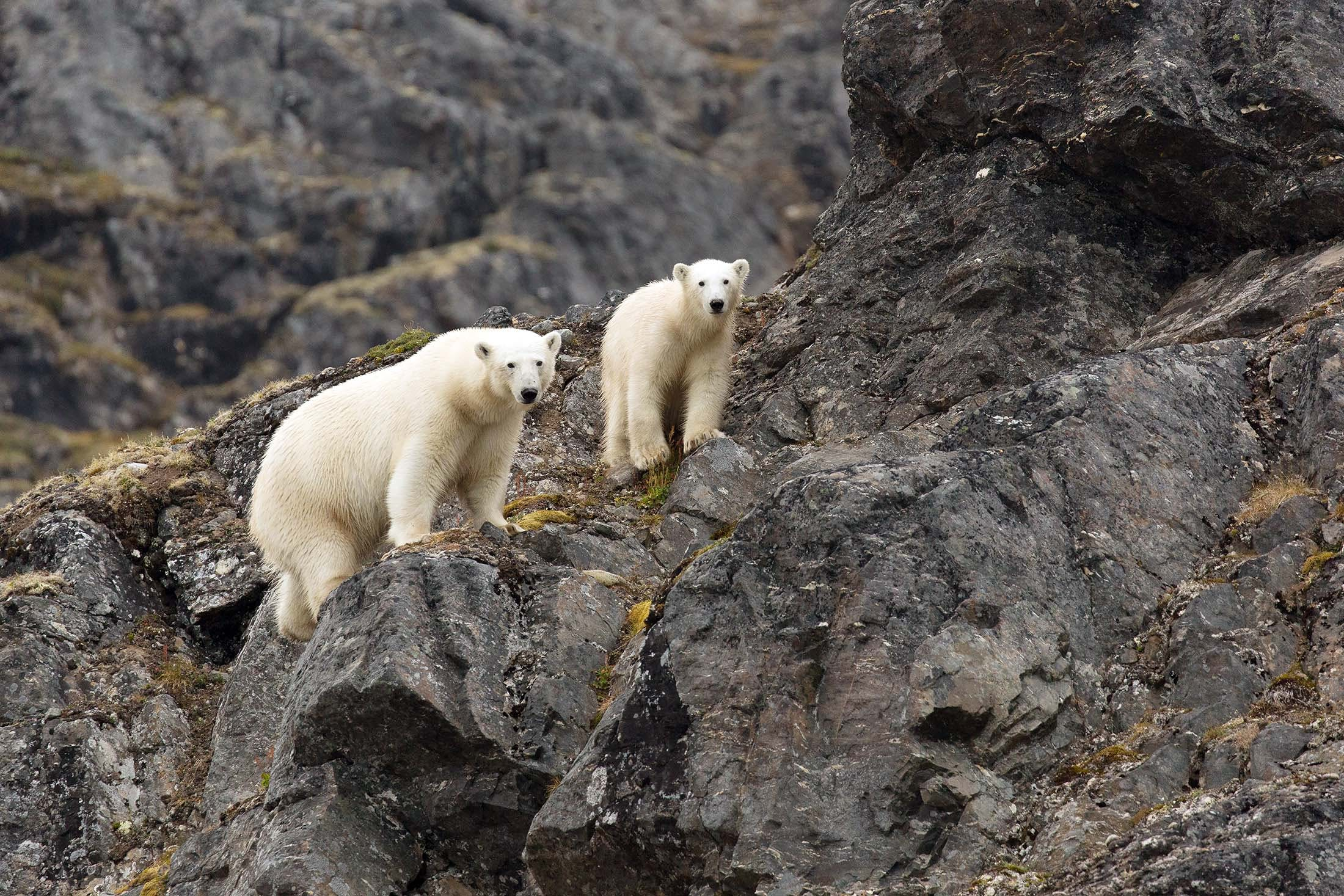 Polar Bears, Liefdefjorden, Svalbard, Arctic