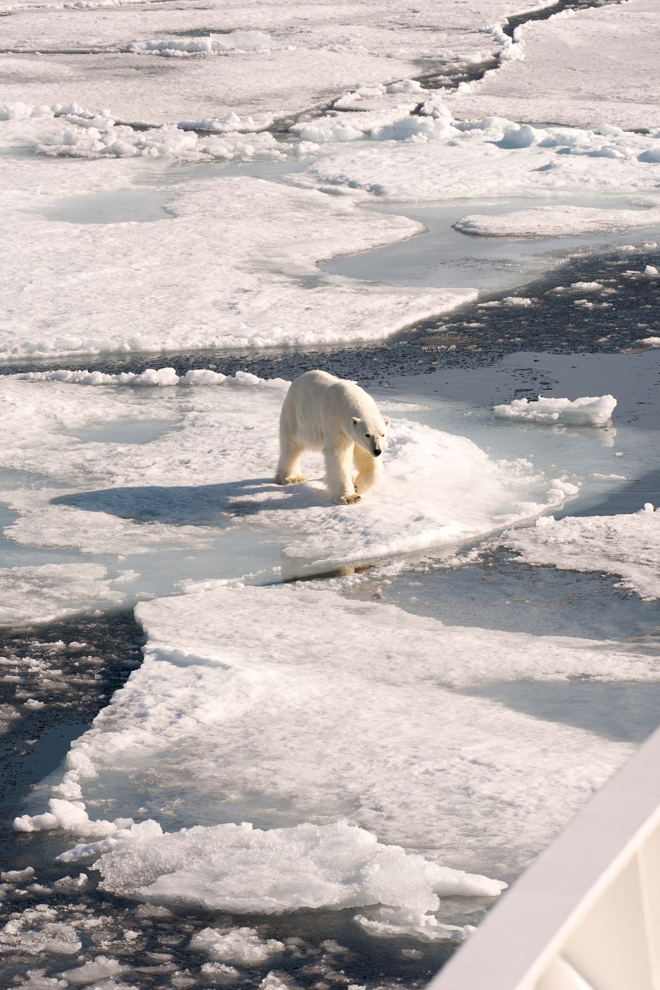 Polar bear in Liefdefjorden, Svalbard