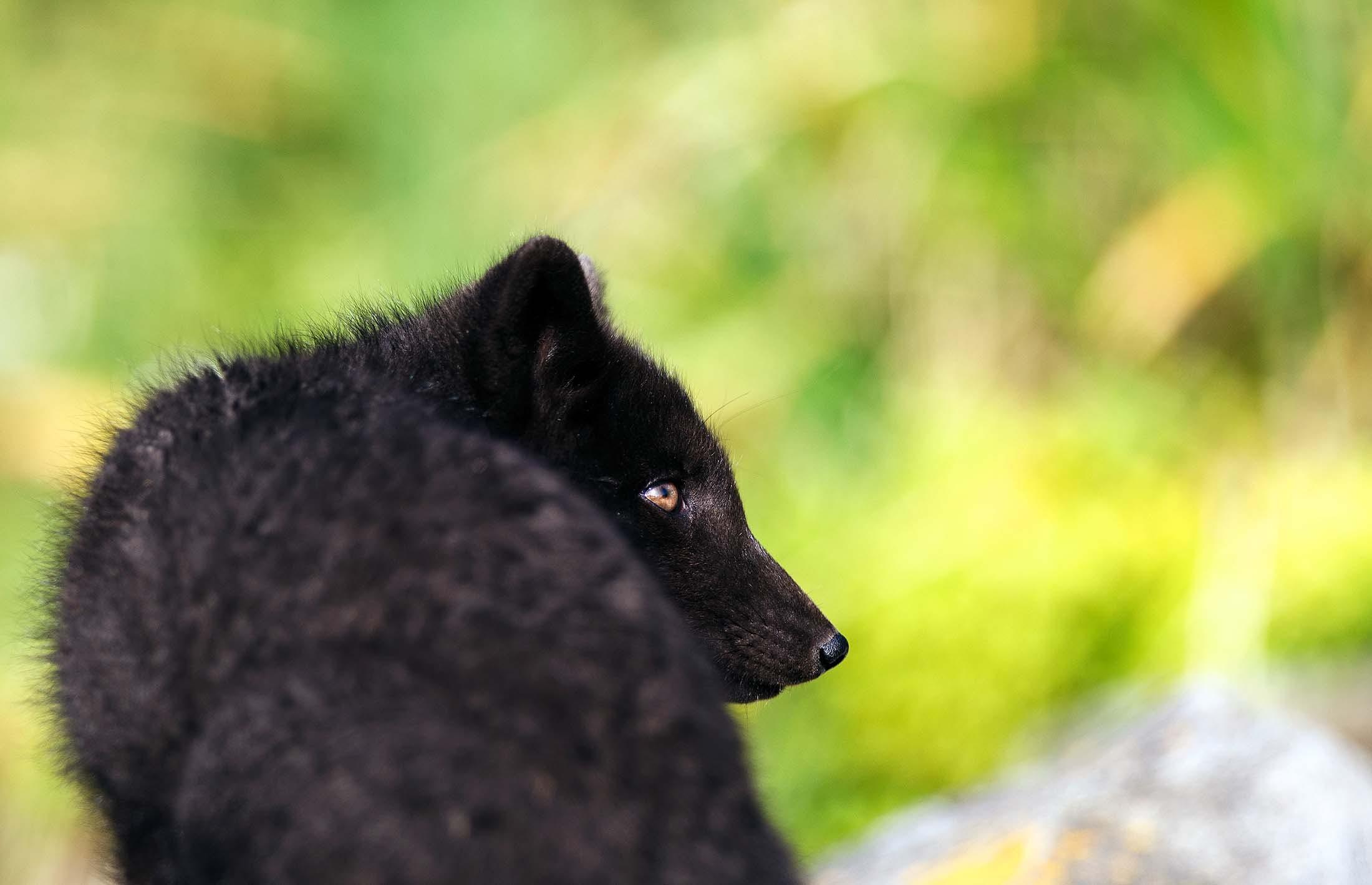 Arctic fox on Yankicha Island, Russian Far East