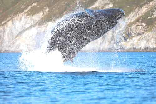 Breaching whale in Zavyavialova Island, Russia