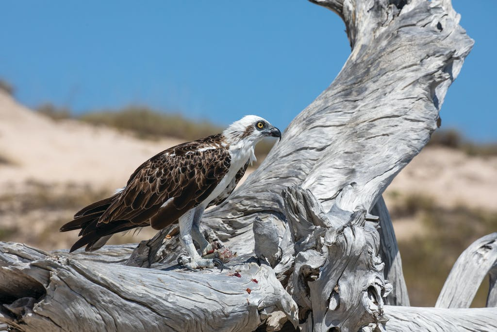 Ord River Birdwatching includes Osprey sightings.