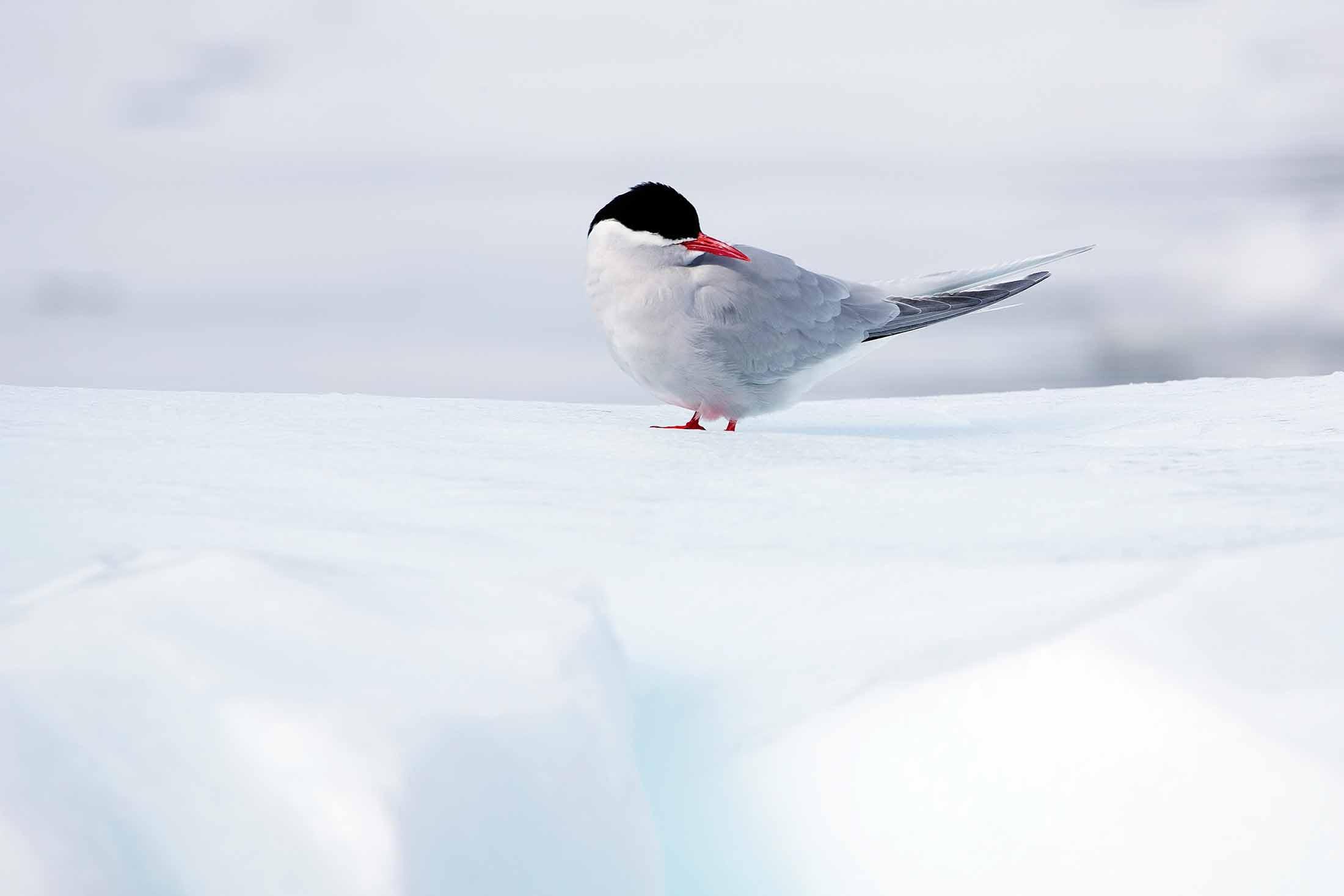 Arctic Tern, Paradise Bay, Antarctica