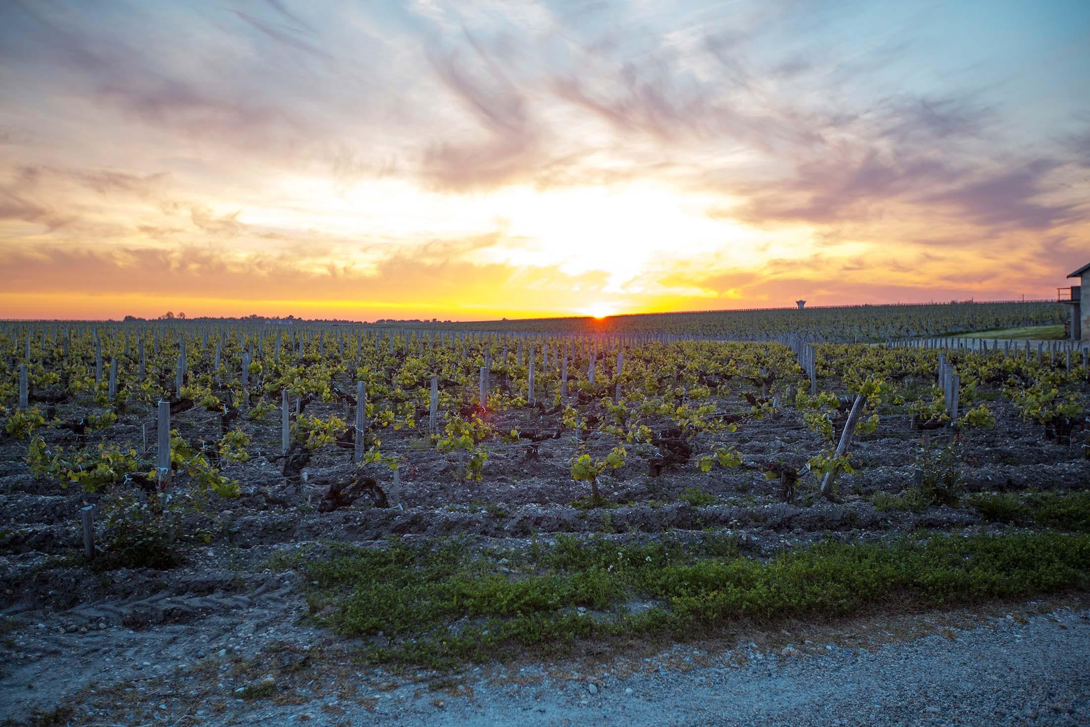 Vineyards in Bordeaux, France