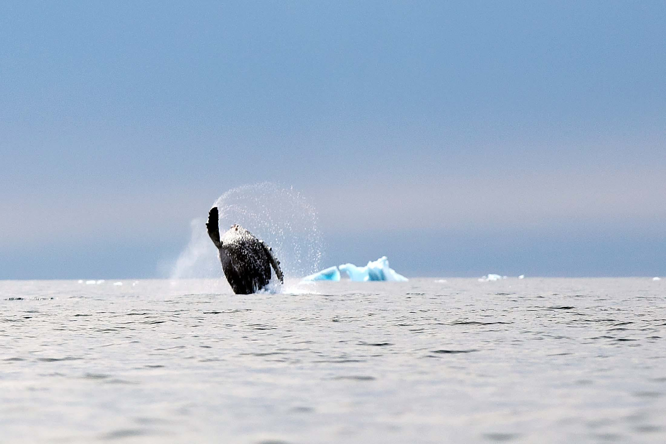Spotted during an Antarctic expedition: a breaching humpback whale in Cierva Cove, Antarctica