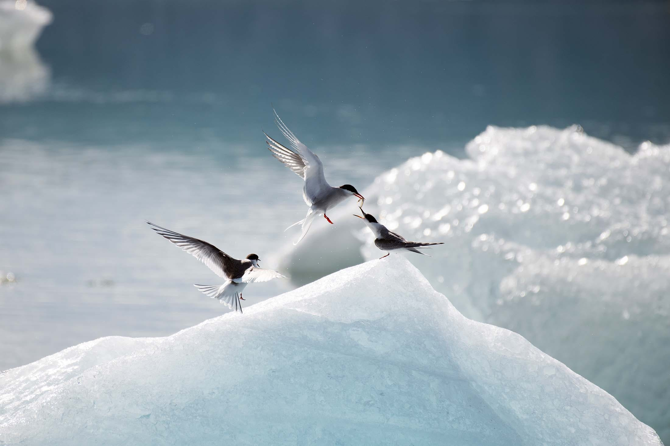 Arctic Tern feeds its young in Glacier Lagoon, Iceland