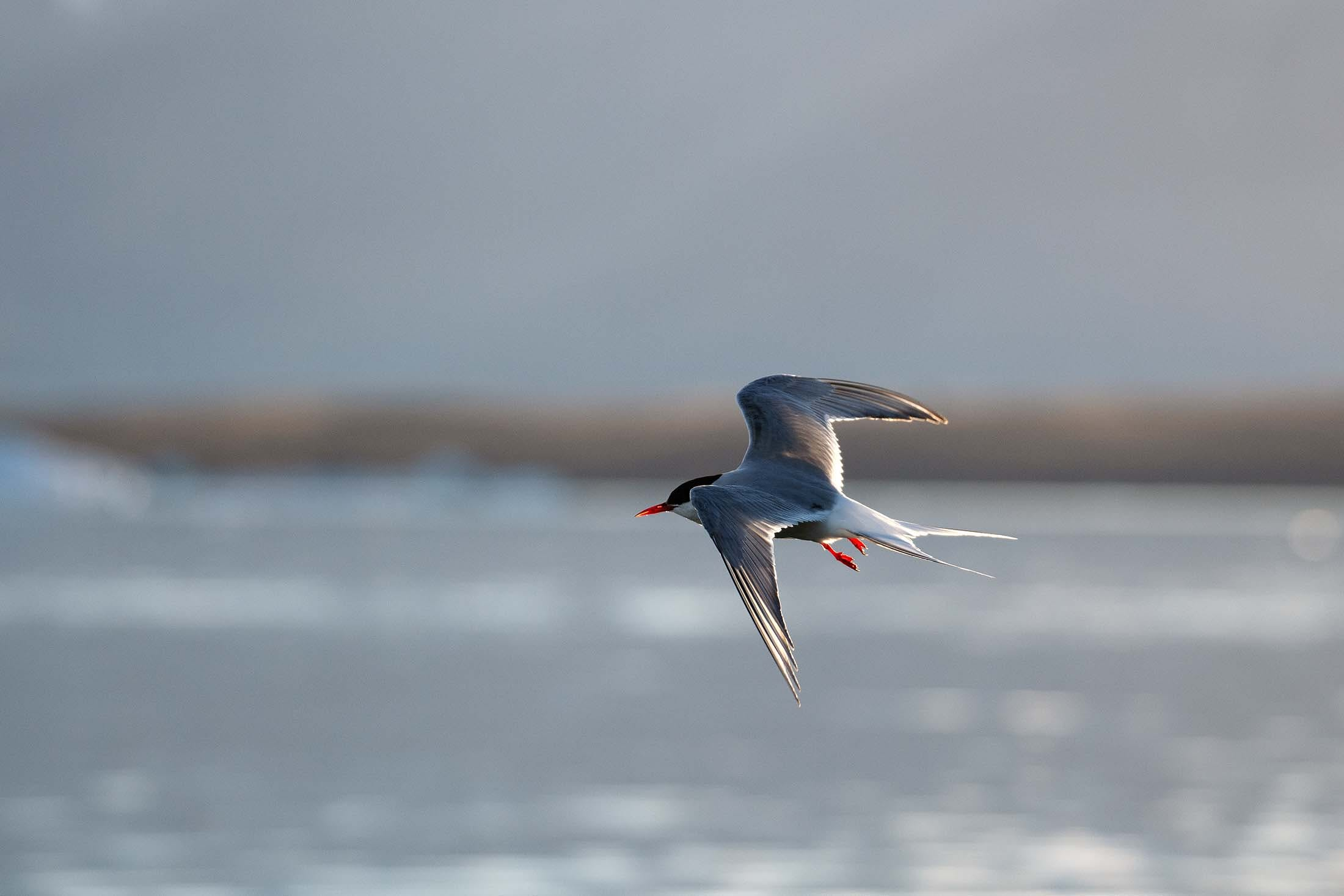Arctic Tern in flight, Glacier Lagoon, Iceland