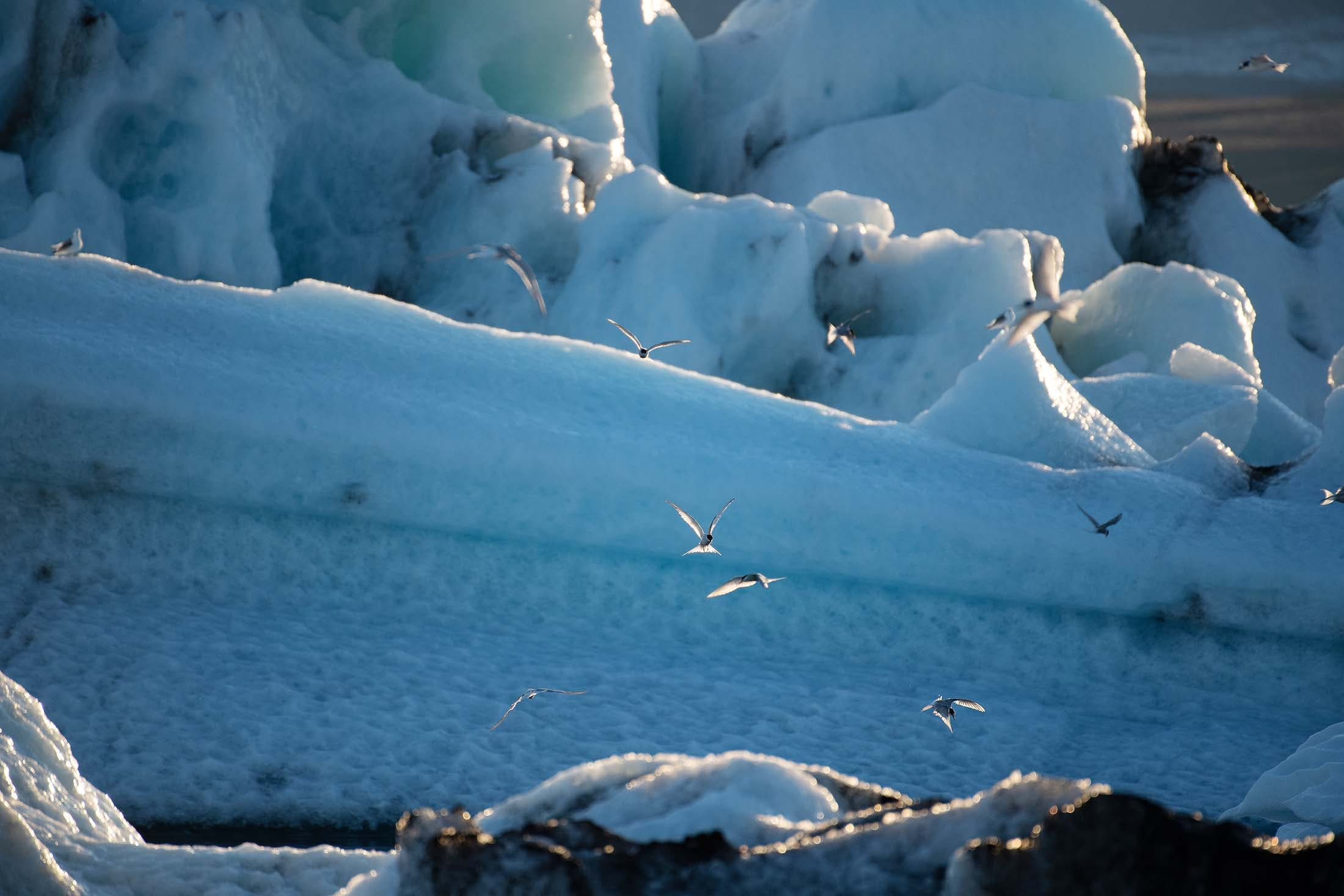 Arctic Terns dive-bombing for fish - Iceland