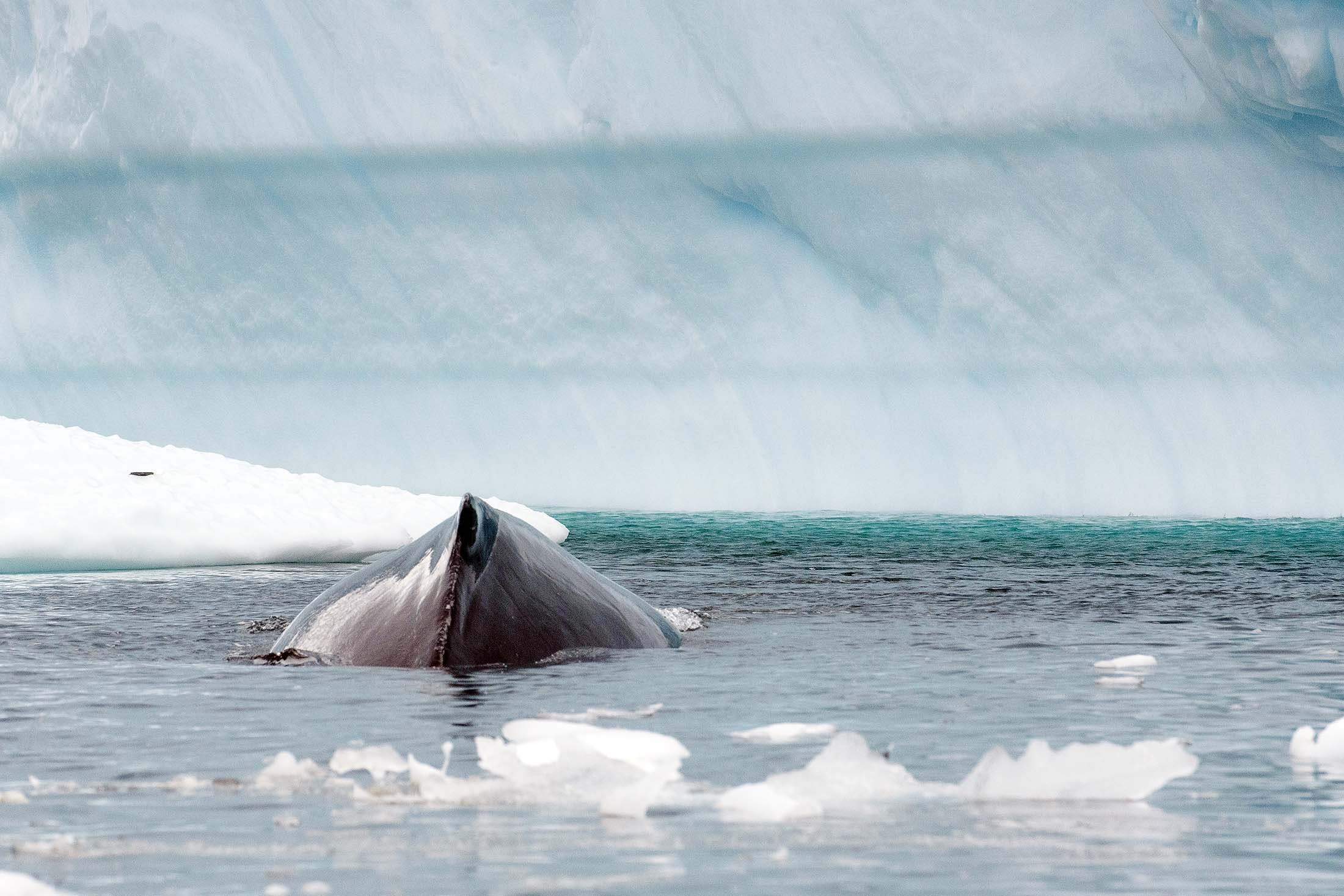 A humpback whale spotted near Danco Island on a recent Antarctica cruise.