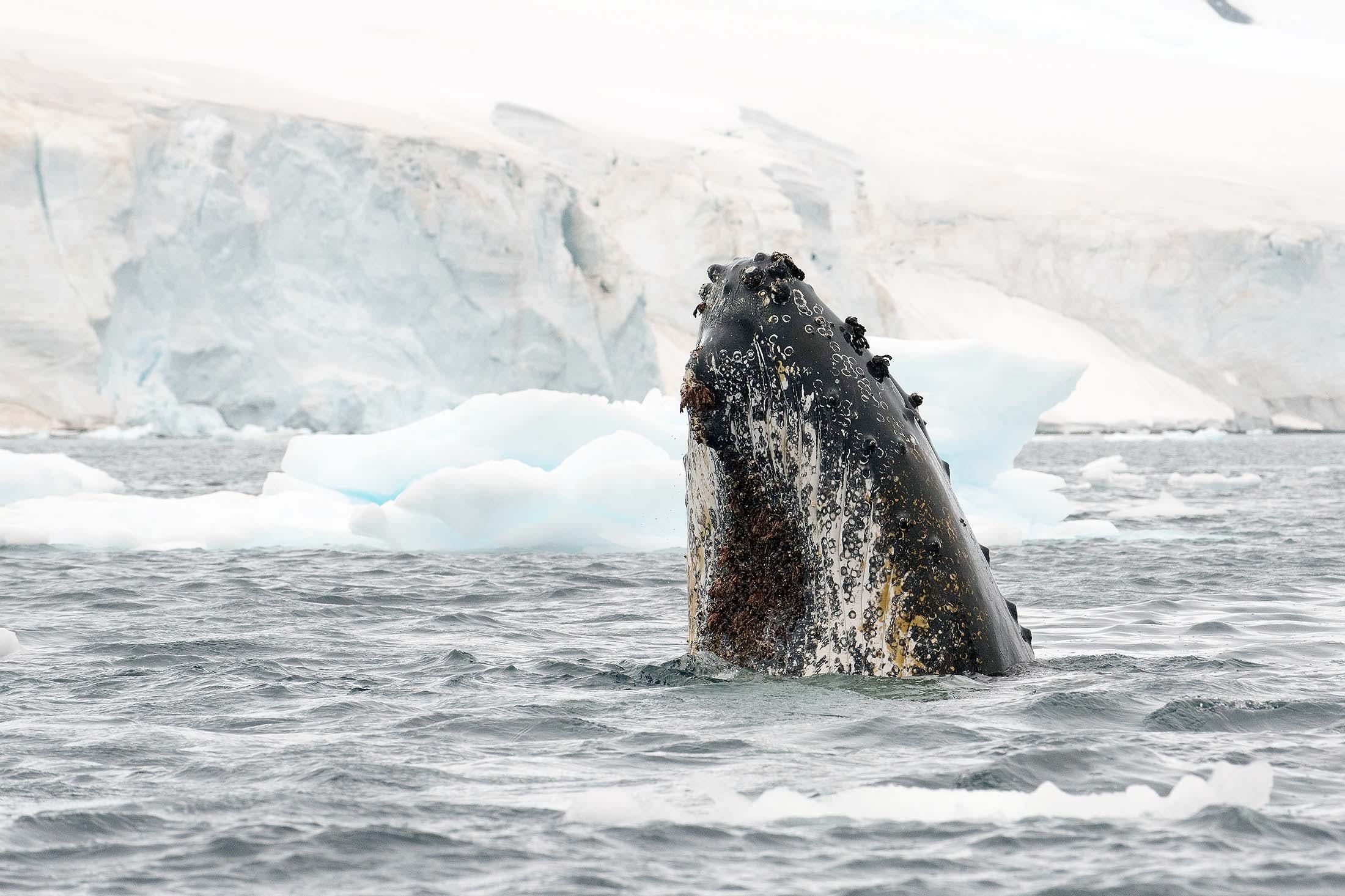 """There are few encounters as breathtaking as """"spyhopping"""" humpback whales in Antarctica."""