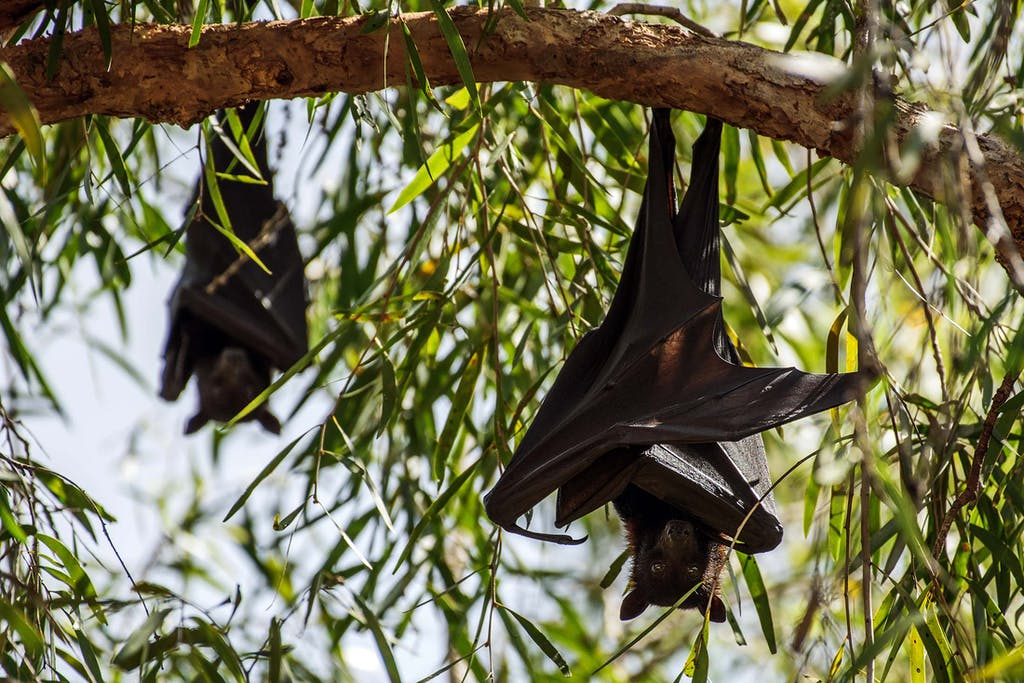 Flying foxes in Ord River, a haven for Kimberley wildlife.