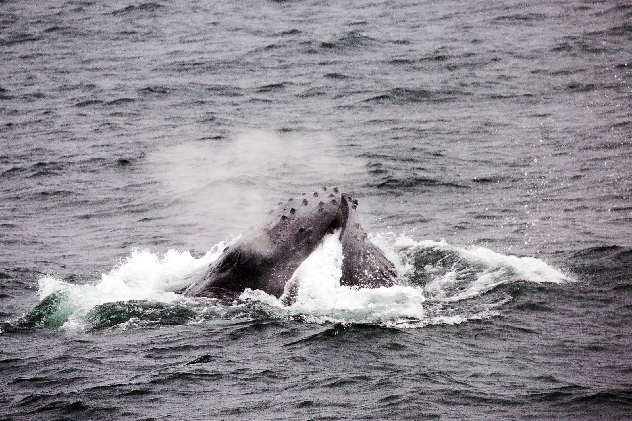 Guests on a Silversea cruise watch a humpback whale hunt with a bubble net in Portal Point, Antarctica