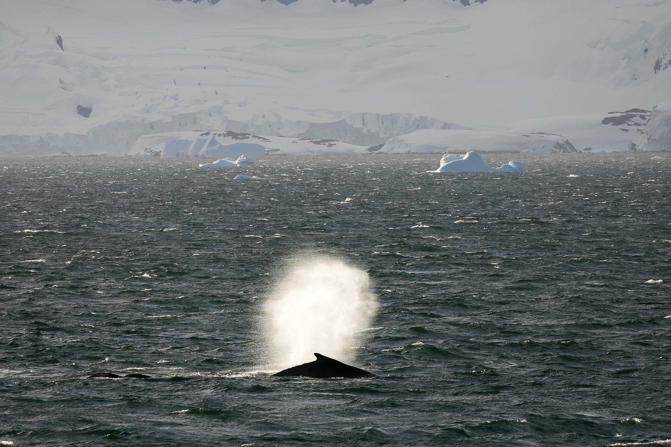 Seeing humpback whales in the Antarctic Sound is one reason to visit Antarctica with Silversea