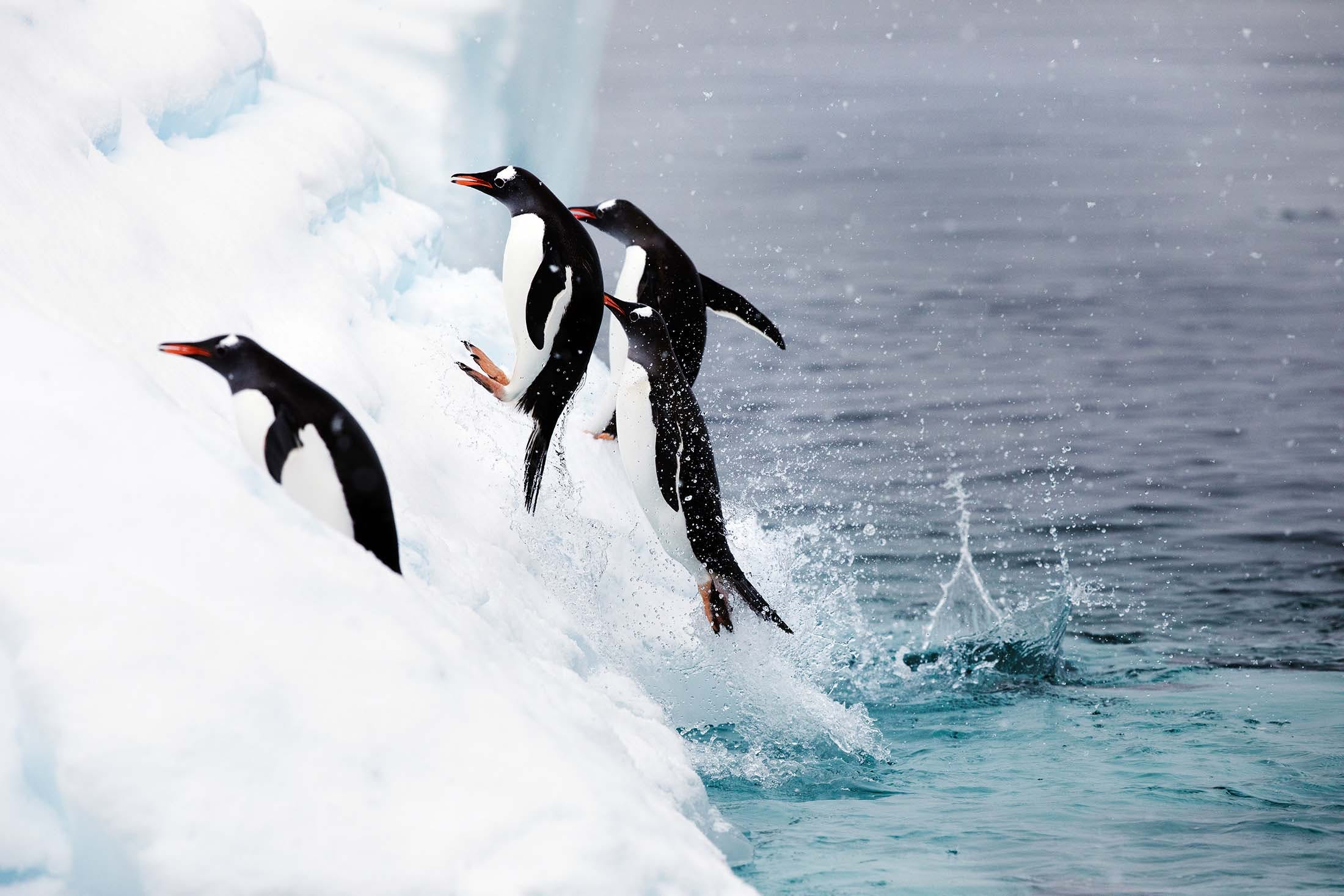 Gentoo penguins, Danco Island, Antarctica