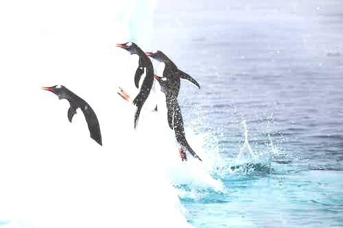 Gentoo penguins, Danco Island, Antarctica