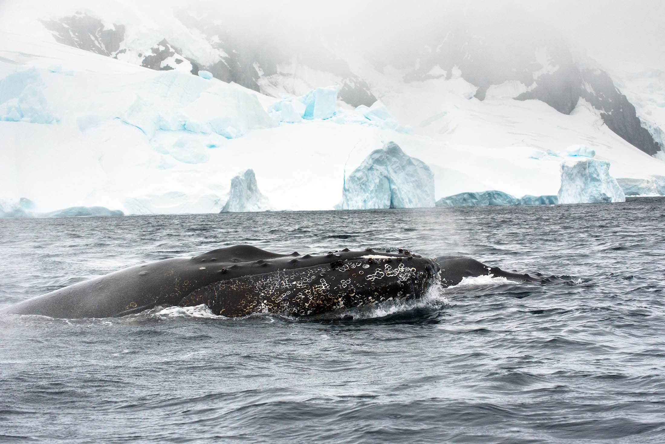 Spotting humpback whales in Antarctica