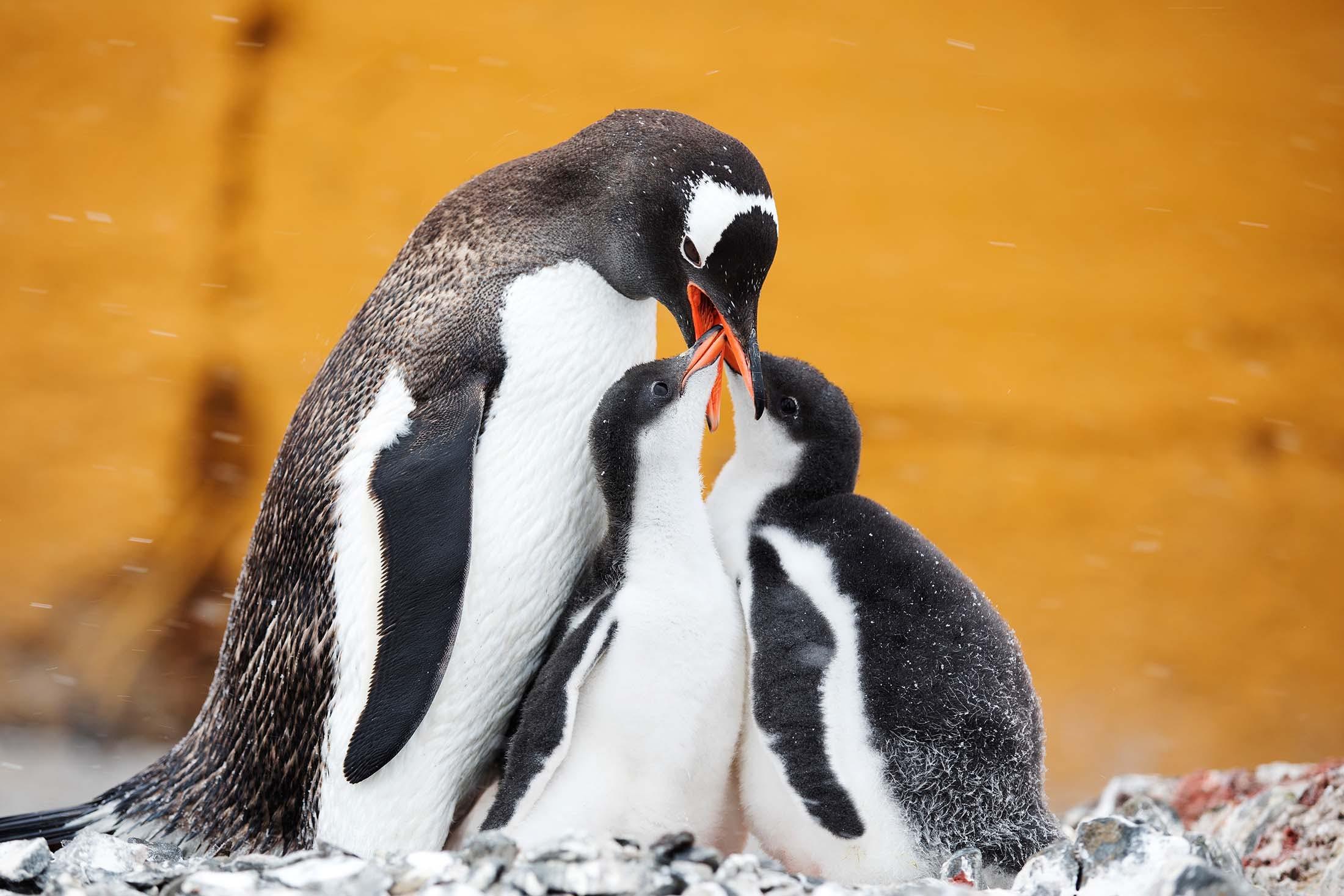 Gentoo penguins, Esperanza Station, Antarctica