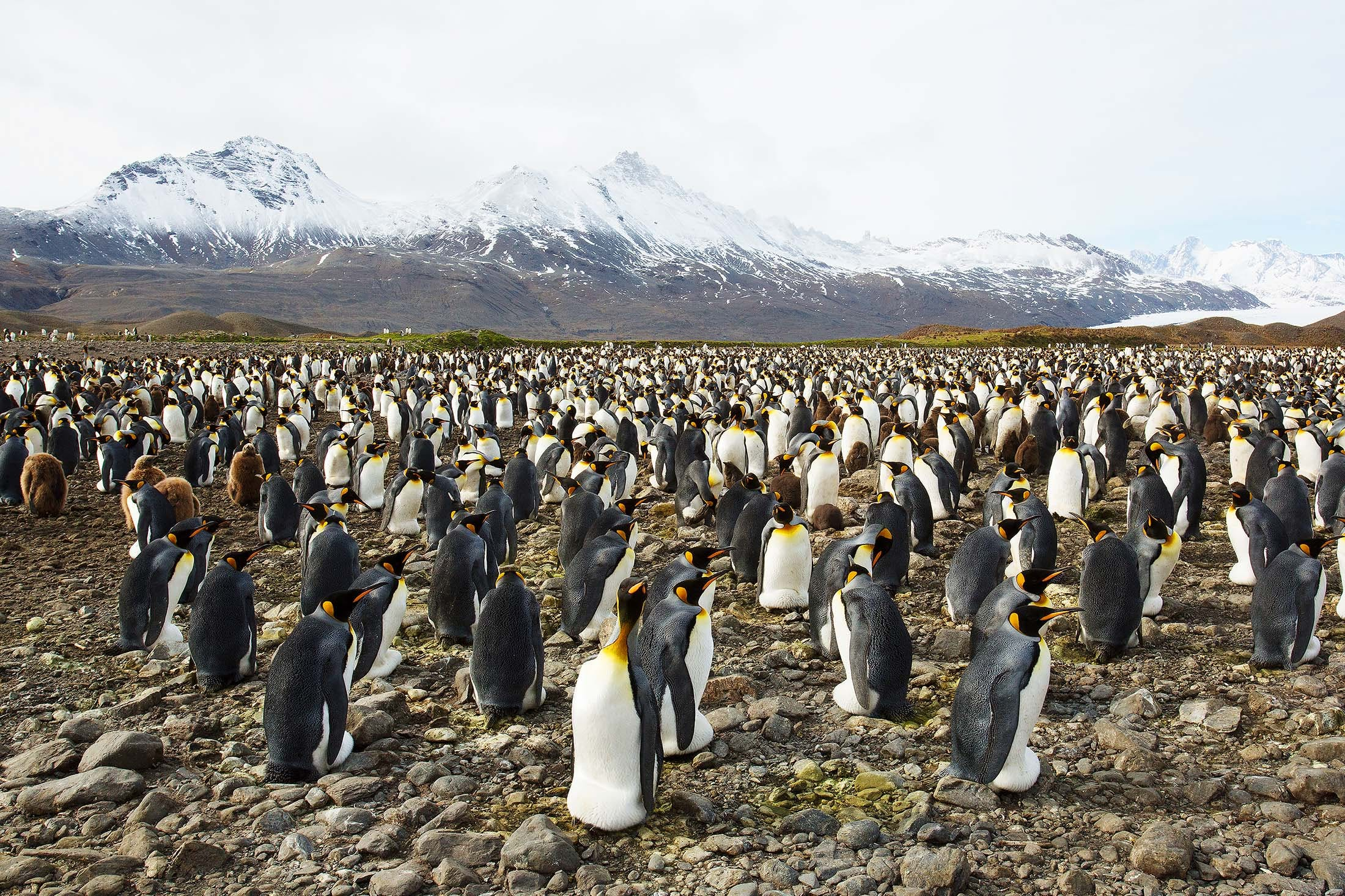 King Penguins in Fortuna Bay, South Georgia.