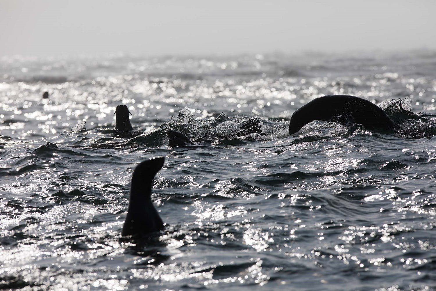 Fur seals in the Russian Far East