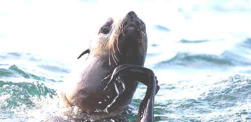 Northern Fur Seal, Tyuleniy Island, Russian Far East