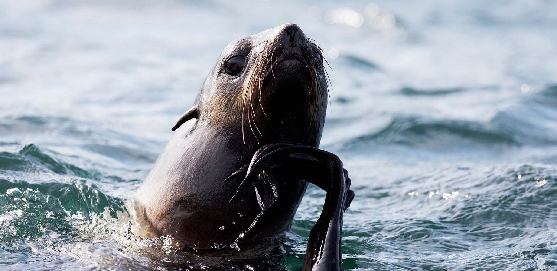 Northern Fur Seal off Tyuleniy Island, Russian Far East