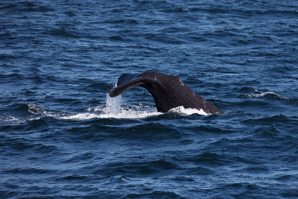 Spotting a sperm whale on a cruise to the Russian Far East
